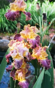 Bearded iris, one of many delights at the plant sale